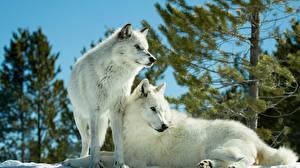 Wallpaper Wolf 2 White Animals