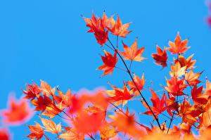 Hintergrundbilder Ast Blattwerk Ahorne Orange Natur