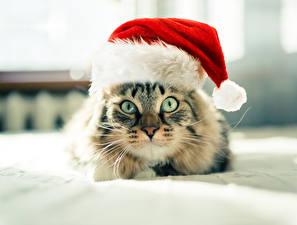 Photo Cats Christmas Eyes Winter hat Glance animal