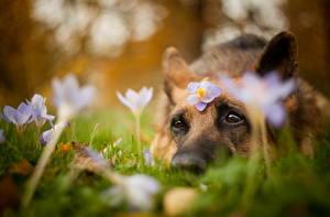 Hintergrundbilder Hunde Krokusse Shepherd Starren Blumen