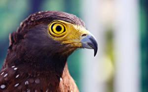 Picture Bird Eagle Beak Head Animals