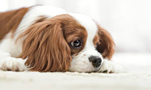Fotos Hunde Spaniel Blick King Charles Spaniel