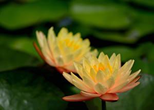 Hintergrundbilder Lotosblume See Hautnah Blumen