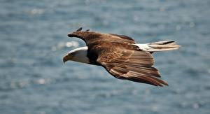 Images Birds Hawk Bald Eagle
