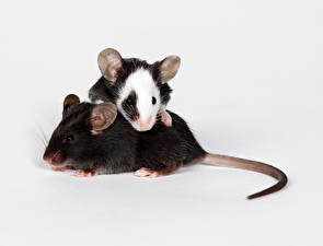Picture Rodents Mice Two Tail animal