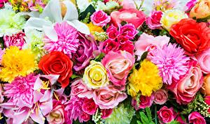 Fotos Rose Georginen Lilien Großansicht Blüte