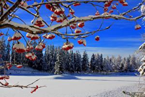 Hintergrundbilder Winter Beere Wälder Vogelbeeren Ast Schnee Natur