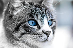 Pictures Cats Eyes Staring Snout Nose Animals