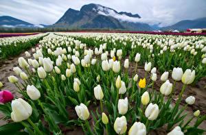 Fondos de escritorio Campos Tulipa Muchas Montañas Blanco Flores Naturaleza