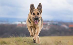 Bilder Hunde Shepherd Lauf