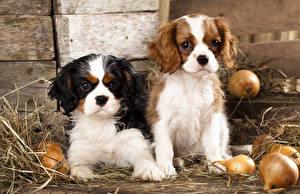 Bilder Hunde Zwiebel King Charles Spaniel Welpe Stroh ein Tier