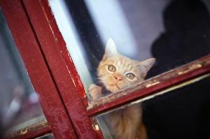 Hintergrundbilder Katzen Blick Fuchsrot Fenster ein Tier