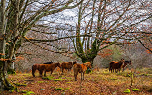 Fotos Pferde Herbst Bäume Blatt Laubmoose Ast Tiere Natur