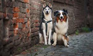 Hintergrundbilder Hunde Australian Shepherd Siberian Husky Zwei
