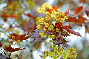 Fotos Blühende Bäume Ast Ahorne Natur