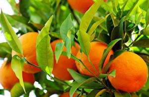 Fotos Orange Frucht Obst Blatt Lebensmittel