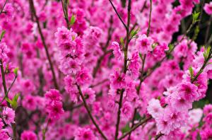 Bilder Frühling Blühende Bäume Großansicht Rosa Farbe Ast Blumen