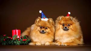Bilder Hunde Neujahr Kerzen Spitz Zwei Mütze Ast Tiere