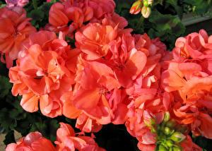 Pictures Geranium Closeup Red Flowers