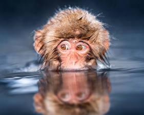 Wallpapers Monkey Eyes Water animal