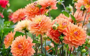 Fotos Georginen Nahaufnahme Blumen