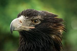 Wallpaper Eagles Birds Beak Head animal