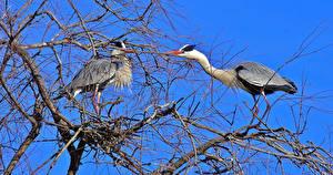 Fotos Vögel Eigentliche Störche Ast 2 Tiere