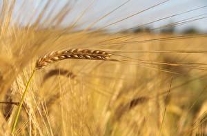 Fotos Großansicht Weizen Ähre Natur