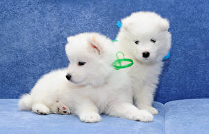 Picture Dogs Puppies Two Samoyed dog animal