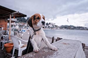 Fonds d'écran Chiens Beagle Chiots Table un animal