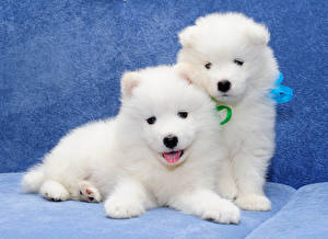 Pictures Dogs Two Puppy White Samoyed dog Animals