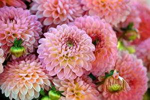 Hintergrundbilder Dahlien Hautnah Blumen