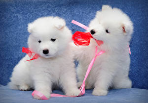 Images Dogs Two Puppy White Bow knot Samoyed dog Animals