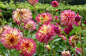 Fotos Dahlien Großansicht Rosa Farbe Blüte