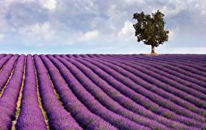 Fotos Acker Lavendel Himmel Bäume Natur