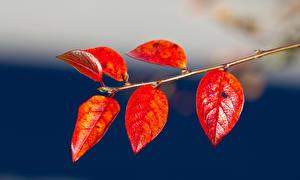 Bilder Herbst Großansicht Blattwerk Ast Rot Natur