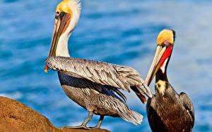 Fotos Pelikane Vögel 2 Tiere