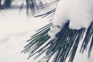 Fotos Winter Großansicht Schnee Fichten Ast Natur