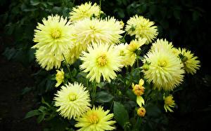 Hintergrundbilder Dahlien Hautnah Blütenknospe Blumen