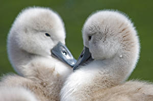Pictures Geese Cubs Bird 2 Animals