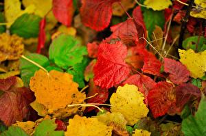 Bilder Herbst Nahaufnahme Blatt Natur