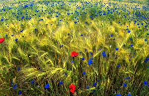 Fotos Felder Mohn Weizen Ähre
