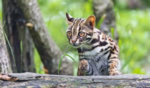 Hintergrundbilder Katze Bengalkatze Blick Prionailurus bengalensis