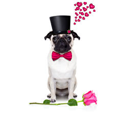 Photo Valentine's Day Dogs Rose Bulldog Heart Hat Bow knot Bow tie animal