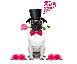 Pictures Valentine's Day Dogs Rose Bulldog Hat Heart Bowknot Bow tie Animals