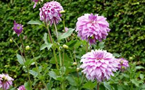 Fotos Georginen Großansicht Blütenknospe Blüte