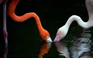 Fotos Vogel Flamingos Wasser Zwei