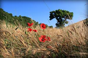 Hintergrundbilder Mohn Felder Weizen Spitze
