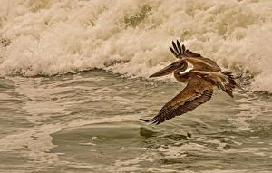 Hintergrundbilder Vogel Wasserwelle Pelikane Wasser Flug ein Tier