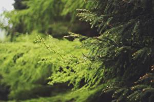 Bilder Großansicht Ast Fichten Natur